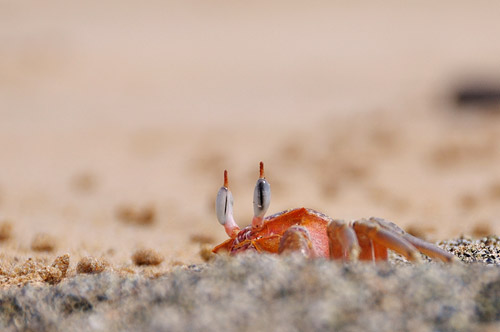 Ghost Crab Peekaboo